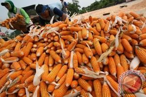 Bulog siap salurkan 600 ribu ton jagung