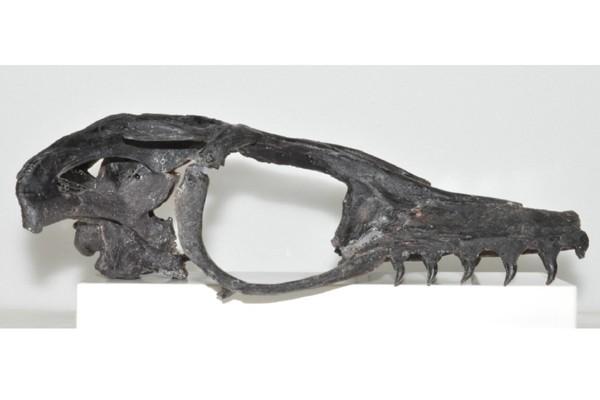 Peneliti ungkap temuan fosil mosasaurus baru di Jepang