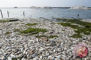Ribuan ikan mati di pantai Ancol diduga karena limbah