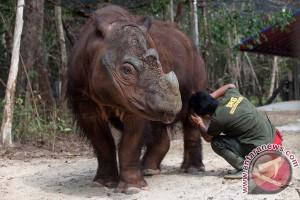 Penangkaran badak sumatera Way Kambas boleh dikunjungi