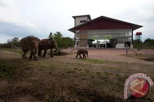 Way Kambas sambut kelahiran bayi gajah betina