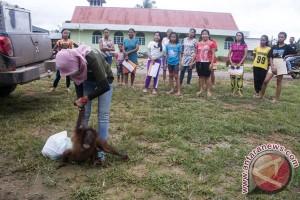 Makin banyak masyarakat laporkan gangguan orangutan