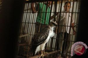 Delapan ekor elang dilindungi diamankan BPPH Sumatera
