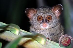 Konversi hutan ancam kelestarian Tarsius di Gorontalo