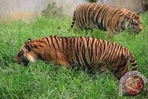 Harimau sumatera primadona pada Hari Hewan Dunia di Athena