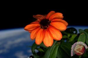 Bunga zinnia mekar di kebun antariksa