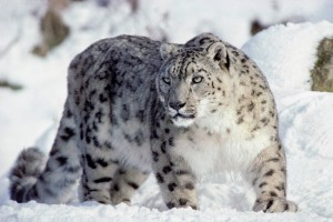 Endangered snow leopards spotted at Mt. Qomolangma