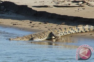 Sungai Gegas Bengkulu diusulkan jadi wisata penangkaran buaya