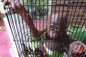 Bayi Orangutan Terlantar