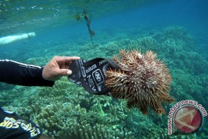 Lipan Laut Perusak Terumbu Karang