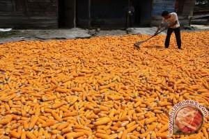 Mentan: ekspor jagung naik 1.800 persen