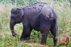 WCS : gajah di TNWK tersisa 247 ekor