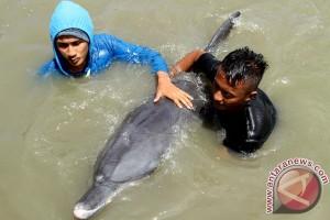 Tim KBS: lumba-lumba terdampar terpisah saat migrasi