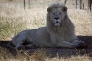 2 singa bonbin terpaksa dimatikan demi nyawa orang yang mau bunuh diri