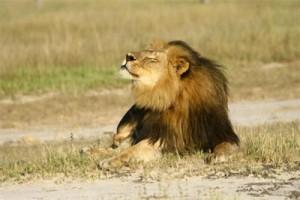 "Singa Afrika Selatan ""Sylvester"" dapat rumah baru"