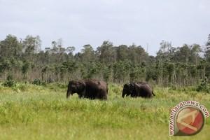 Dua gajah di Buluh Cina direlokasi karena banjir