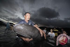 Puluhan ikan paus terdampar di pesisir Probolinggo