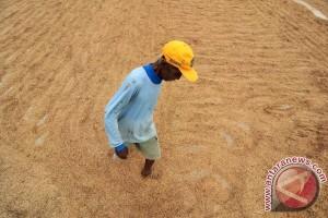 Kementan serap gabah petani untuk selamatkan harga