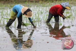 Sumut kembangkan varietas padi Sigambiri Putih dan Merah