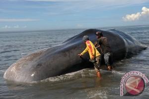 Seekor paus terdampar di Rote