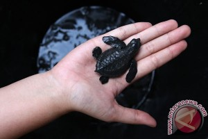 Peringati Hari Bumi, 62 ekor tukik dilepas ke pantai Pasir Panjang