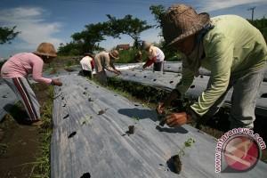 Sumut waspadai bibit cabai bervirus asal China