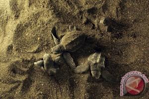 Sea turtle nesting season gets underway in Yogyakarta