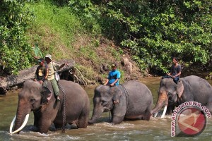 Puluhan gajah obrak-abrik kebun warga Pidie