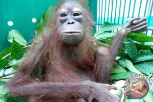 Orangutan di Kalbar dievakuasi