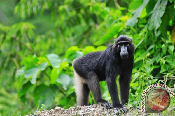 Polsek dan Perbakin Cianjur buru monyet liar
