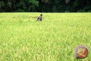 Ongkos produksi penyebab beras Indonesia mahal