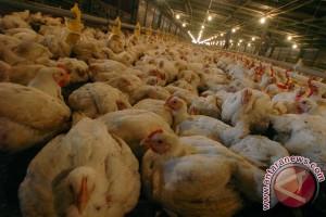10 pekerja AS dipecat karena aniaya ayam di tempat kerja