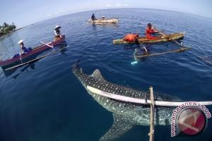 Kawanan hiu paus juga muncul di Pulau Saronde