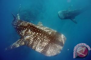 Two whale sharks stranded on Nusa Penida coast