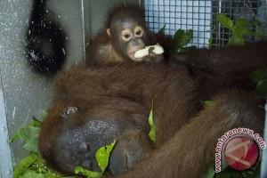 12 orangutan bakal dilepas di hutan Batikap