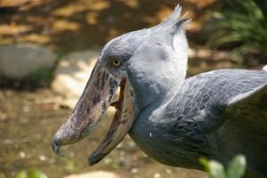 Shoebill, burung raksasa Uganda, bertahan hidup melawan manusia