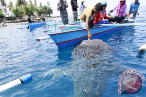 Hiu paus di Gorontalo