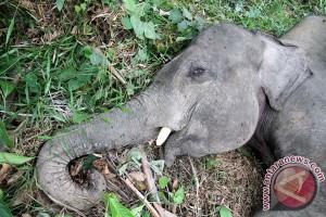 Seekor anak gajah ditemukan mati di Aceh