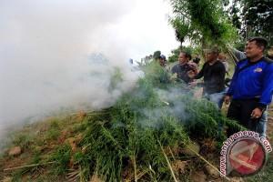 Pemusnahan Ladang Ganja Aceh