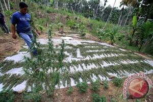 Polres Aceh besar amankan satu ton ganja