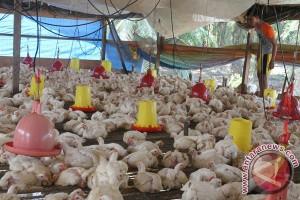 Distan DIY minta peternak unggas waspadai H5N1