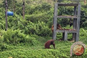 Yayasan BOS kembali lepasliarkan lima orangutan di Kalimantan Timur