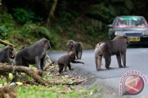 Populasi Monyet Sulawesi