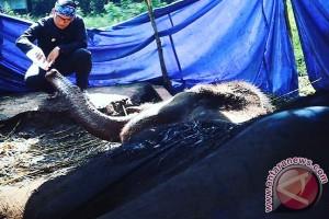 Kematian gajah di Kebun Binatang Bandung diduga akibat radang paru