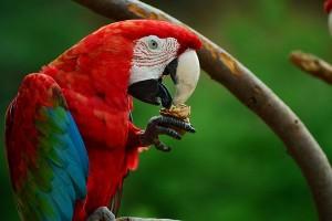 Ilmuwan pecahkan misteri warna merah pada burung