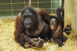 Orangutan betina tertua kedua di dunia mati di Illinois