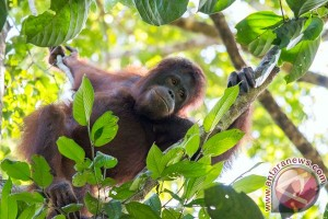 EARTH WIRE -- Two orangutans released into the wild in W. Kalimantan