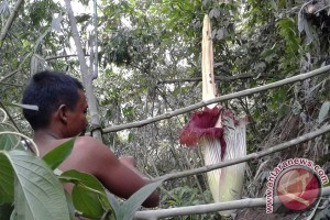 Bunga Bangkai Sinabung