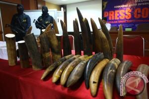 Gajah Afrika perlu waktu seabad untuk pulih dari perburuan