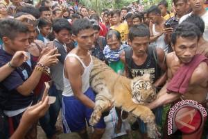 Harimau terjerat berhasil dievakuasi
